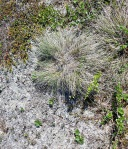 frozen palsa: tundra type vegetation showing lichen, tussock grasses and dwarf ericaceous plants